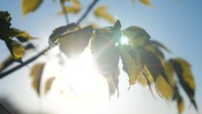 De esdoorn van de takboom verlaat blauwe hemel levensstijlzonlicht bij de tak van de zonsondergangesdoorn met groene bladerenslin stock videobeelden
