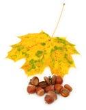De esdoornblad en eikels van de herfst stock foto's