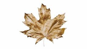 De esdoornblad van de close-upomwenteling door dalingen van water wordt behandeld dat Blad gouden die kleur op witte achtergrond  royalty-vrije illustratie