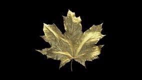 De esdoornblad van de close-upomwenteling door dalingen van water wordt behandeld dat Blad gouden die kleur op zwarte achtergrond stock illustratie