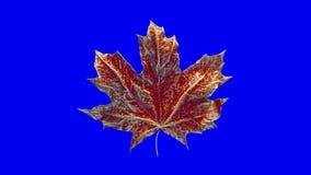 De esdoornblad van de close-upomwenteling door dalingen van water wordt behandeld dat Blad rode die kleur op blauwe achtergrond w vector illustratie