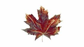 De esdoornblad van de close-upomwenteling door dalingen van water wordt behandeld dat Blad rode die kleur op witte achtergrond wo vector illustratie