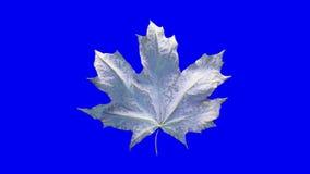 De esdoornblad van de close-upomwenteling door dalingen van water wordt behandeld dat Blad zilveren die kleur op blauwe achtergro stock videobeelden