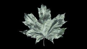 De esdoornblad van de close-upomwenteling door dalingen van water wordt behandeld dat Blad zilveren die kleur op zwarte achtergro royalty-vrije illustratie