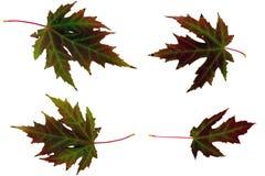 De esdoornblad van de herfst Royalty-vrije Stock Fotografie
