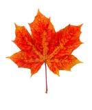 De esdoornblad van de herfst stock foto
