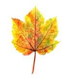 De esdoornblad van de herfst dat op wit wordt geïsoleerdu Stock Foto