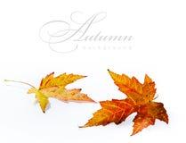De esdoornblad van de herfst dat op witte achtergrond wordt geïsoleerde Royalty-vrije Stock Afbeelding