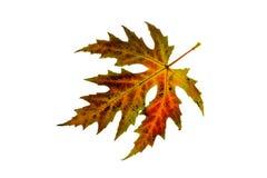 De esdoornblad van de herfst dat op witte achtergrond wordt geïsoleerde Royalty-vrije Stock Afbeeldingen