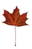 De esdoornblad van de herfst Het is geïsoleerdd Stock Fotografie