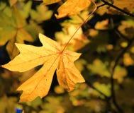De esdoornblad van de herfst Het is geïsoleerdd Stock Foto's