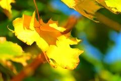 De esdoornblad van de herfst Het is geïsoleerdd Royalty-vrije Stock Fotografie