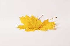 De esdoornblad van de herfst Het is geïsoleerdd Stock Afbeelding