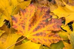 De esdoornblad van de herfst Het is geïsoleerdd Stock Afbeeldingen