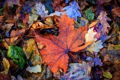 De esdoornblad van de herfst Het is geïsoleerdd Stock Foto