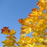 De esdoornblad van de herfst op blauwe hemel Stock Afbeelding