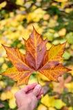 De esdoornblad van de herfst Het is geïsoleerdd