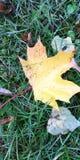 De esdoornblad van de herfst Het is ge?soleerdd stock foto's