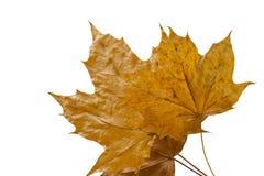 De esdoornblad van de herfst op witte achtergrond Royalty-vrije Stock Fotografie
