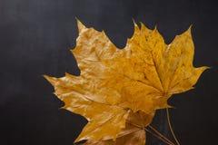 De esdoornblad van de herfst op zwarte achtergrond Stock Afbeeldingen