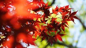 De esdoornbladeren stock foto's