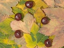 De esdoornbladeren en kastanjes van de herfst. Achtergrond. Royalty-vrije Stock Foto