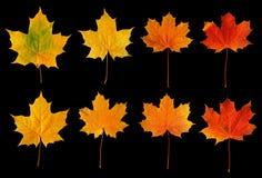 De esdoornbladeren van de daling Stock Foto's