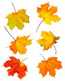 De esdoornbladeren van de daling Stock Afbeeldingen