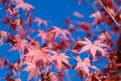 De esdoornbladeren van de herfst Royalty-vrije Stock Foto's