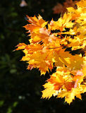 De esdoornbladeren van de herfst Royalty-vrije Stock Afbeelding
