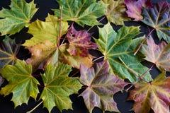 De esdoornbladeren van de herfst Royalty-vrije Stock Fotografie