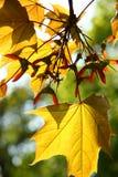 De bladeren van de de herfstesdoorn Stock Foto