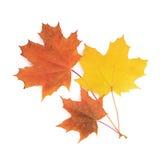 De esdoornbladeren van de herfst die op wit worden geïsoleerde Royalty-vrije Stock Foto's