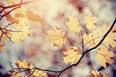 De esdoornbladeren van de herfst op een tak Stock Afbeelding