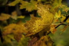 De esdoornbladeren van de herfst op een tak Royalty-vrije Stock Foto