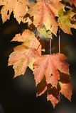 De esdoornbladeren van Sunsplushed Stock Afbeeldingen