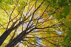 De esdoornboom van de herfst Royalty-vrije Stock Fotografie
