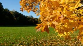 De esdoorntak met oranjegele bladeren slingert in de wind op een zonnige de herfstdag stock footage