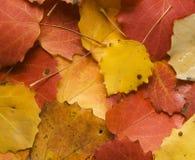 De espbladeren van de herfst Stock Afbeelding