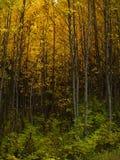 De Espen van de herfst in Kromming. Royalty-vrije Stock Afbeeldingen
