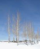 De espen van de winter Royalty-vrije Stock Foto's