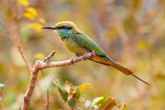 De eter van de regenboogbij (Merops-ornatus) stock foto's