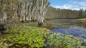 De eucalyptus ontmoet waterlelie in bloei Stock Foto's