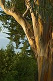 De eucalyptus van San Francisco Royalty-vrije Stock Fotografie
