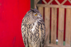 De Europees-Aziatische adelaar-Uil (bubo Bubo) royalty-vrije stock afbeelding