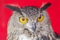 De Europees-Aziatische adelaar-Uil (bubo Bubo) stock afbeeldingen