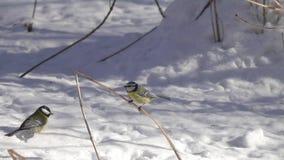 De Europees-Aziatische blauwe mees /Cyanistes caeruleus/vliegt omhoog en zit op een droog grassprietje, langzame motie stock footage