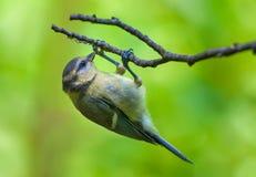 De Europees-Aziatische blauwe mees voedt zich op de eieren van de spin bij de tak van boom stock foto's