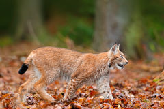 De Europees-Aziatische Lynx jacht in oranje bos Wilde kattenlynx in de aard boshabitat Wilde katten Europees-Aziatische Lynx in o Stock Fotografie