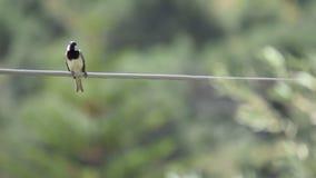 De Europees-Aziatische mus van de boommus op elektrische kabel stock videobeelden